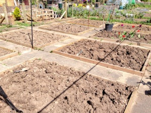 Digging at the carrot tops allotment