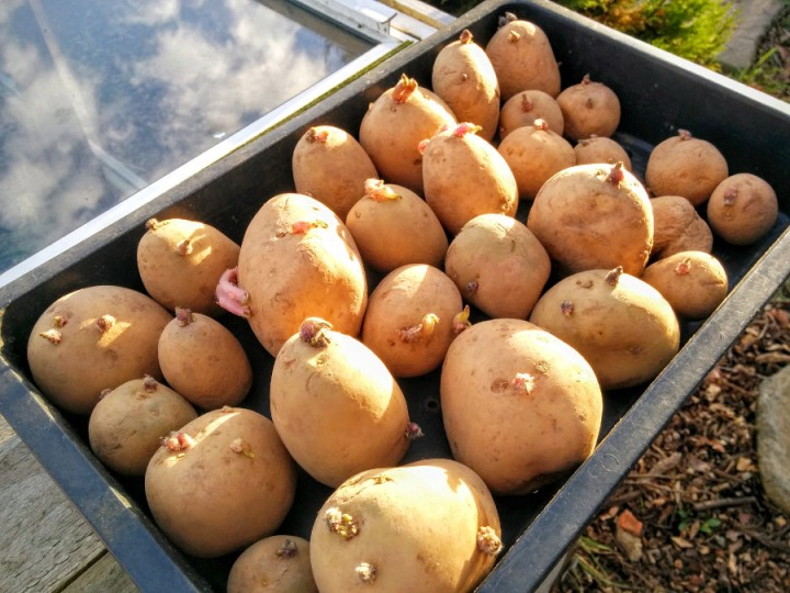 chitting-first-early-potatoes