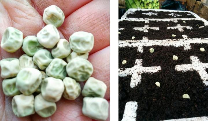 peas-kelvedon-wonder