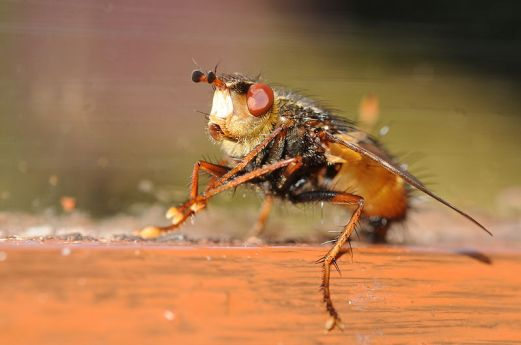 Tachinid Flies - Top 10 beneficial insects for your garden or allotment