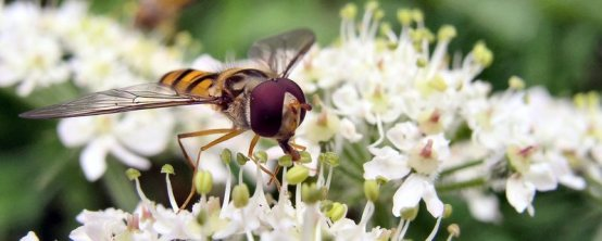 Hoverfly - Top 10 beneficial insects for your garden or allotment
