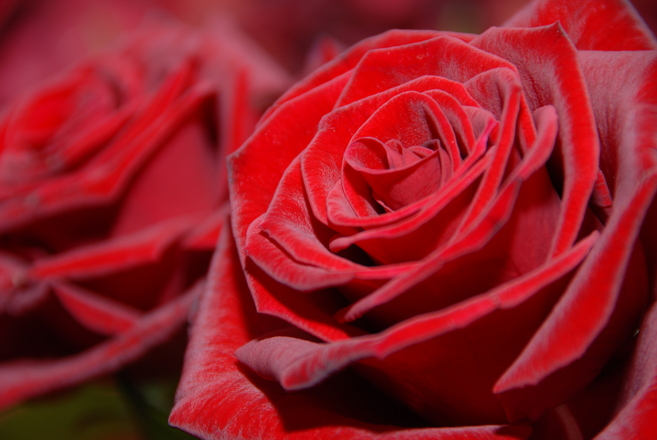 The meaning of every rosecolour