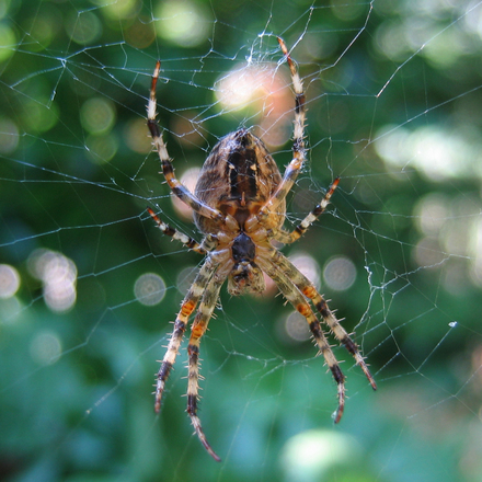 Spiders - Top 10 beneficial insects for your garden or allotment