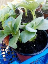 Broad Bean plants