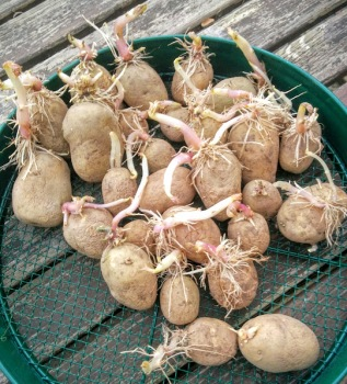 Chitting Maris Piper