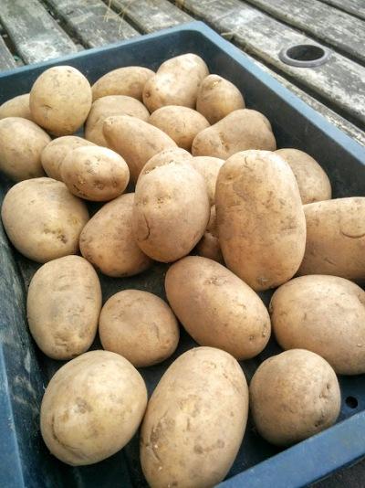 Maris Peer potatoes chit