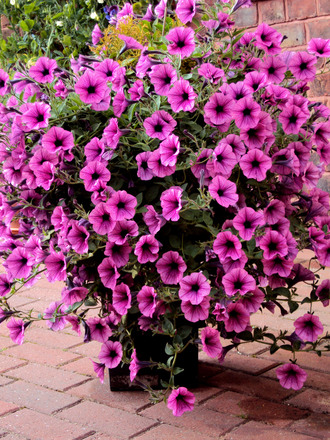 Pick the right plants for your hanging baskets
