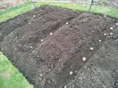 Planting First Early Potatoes: Petland Javelin