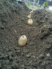 Planting First Early Potatoes: Petland Javelin