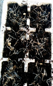 Sowing marigolds
