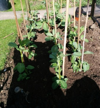 broad bean bunyard exhibition