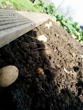 Maris Peer planting