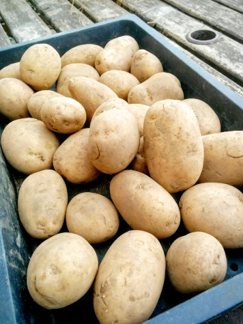 Maris Peer potatoes
