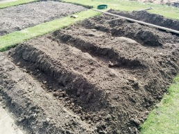 Maris Piper second early potatoes trenches