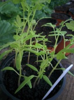 Gardeners Delight seedling 3