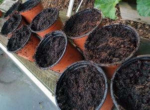 Gardeners Delight seedling 4