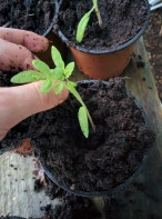 Gardeners Delight seedling