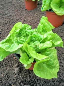 Planting tom thumb lettuce (2)