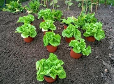 Planting tom thumb lettuce