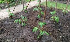 Gardeners Delight plants 5