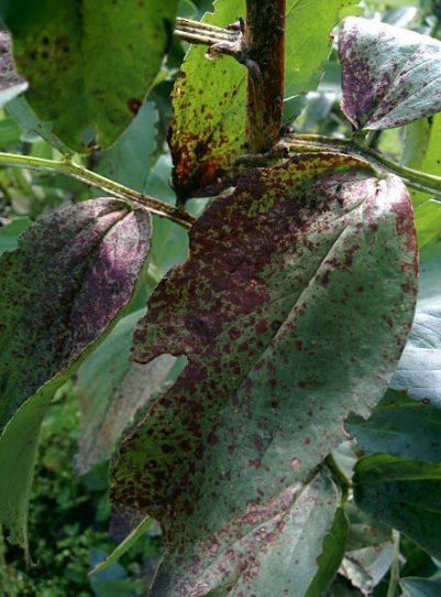 Broad beans chocolate spot leaf