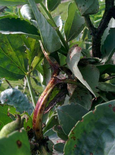 Broad beans chocolate spot stem