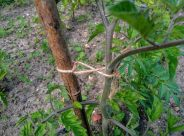 Tieing tomato plants