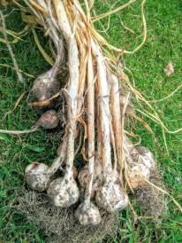 Casablanca garlic