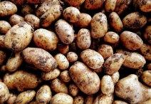 potatoes-maris-piper