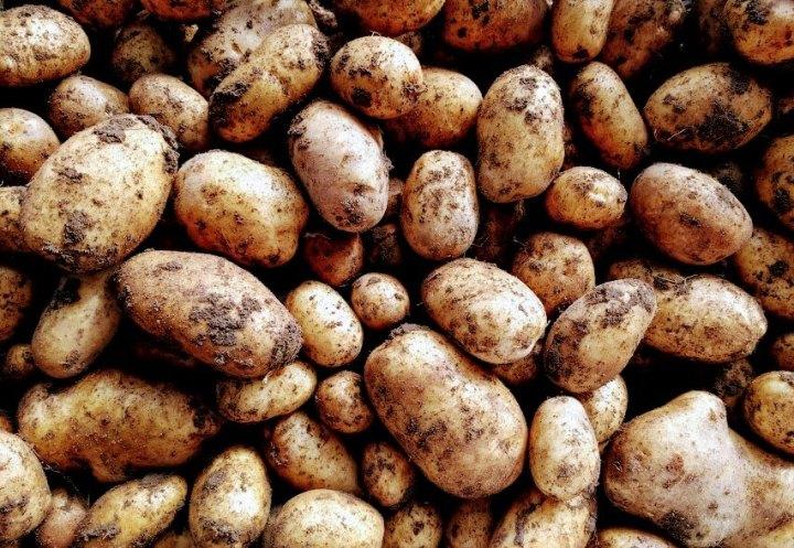 Digging up Maris Piperpotatoes