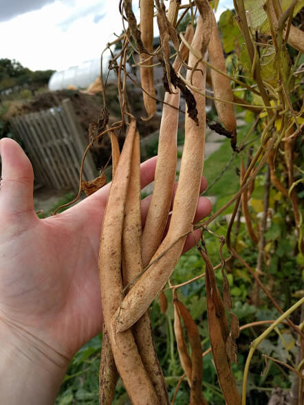 runner-bean-seeds
