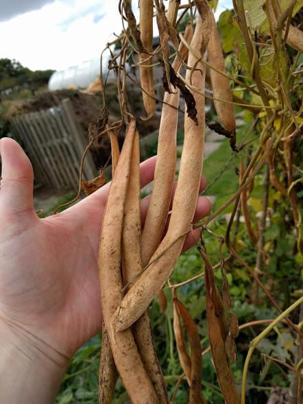 runner-bean-seeds
