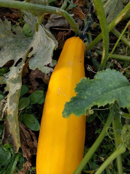 yellow-courgette-seeds