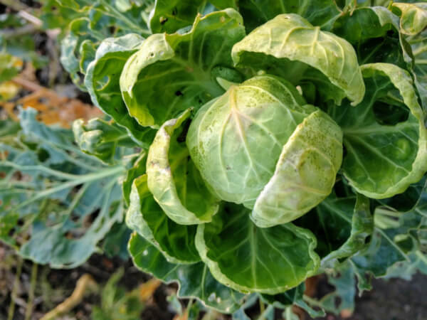 sprouts mounding