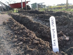 Autumn-King-Carrot-Sowing