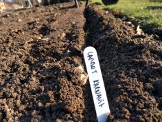 Sowing Daucus carota Karnavit Carrots