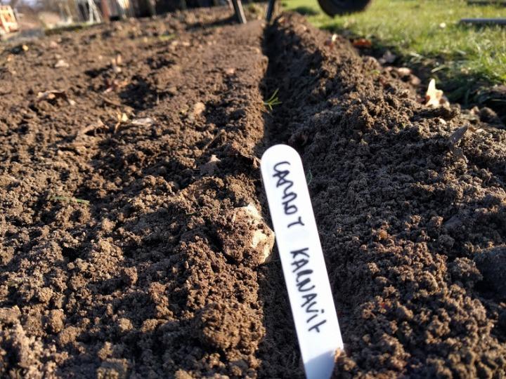 Sowing Daucus carota KarnavitCarrots