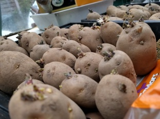 British Queen Potatoes Chitting