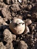 British Queen Potatoes Planting