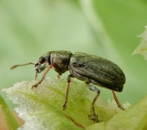 Broad bean weevil