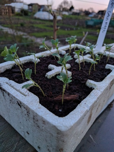 Broccoli green magic seedlings