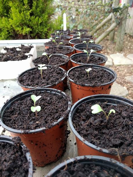 Separating brocoli green magic and cauliflower seedlings 6