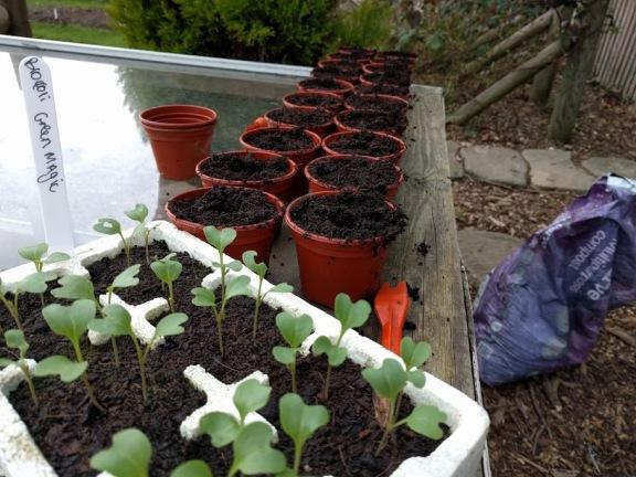 Separating brocoli green magic and cauliflower seedlings