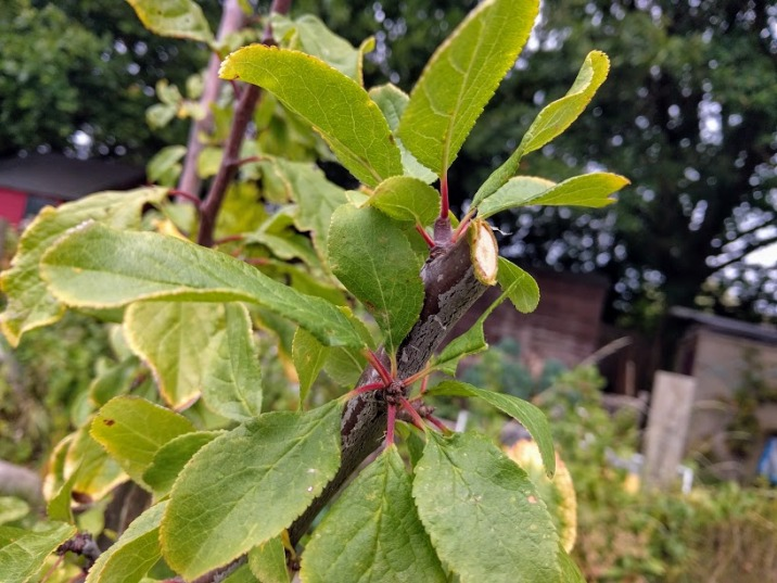Pruning a plum tree