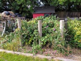 Pruning blackberries before