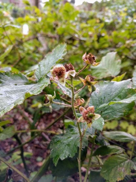Pruning blackberries deadheads