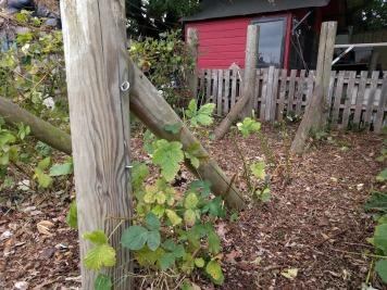 Pruning blackberries new plants one