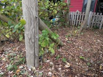 Pruning blackberries new plants two