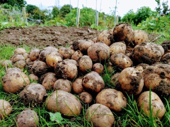 British Queen potatoes