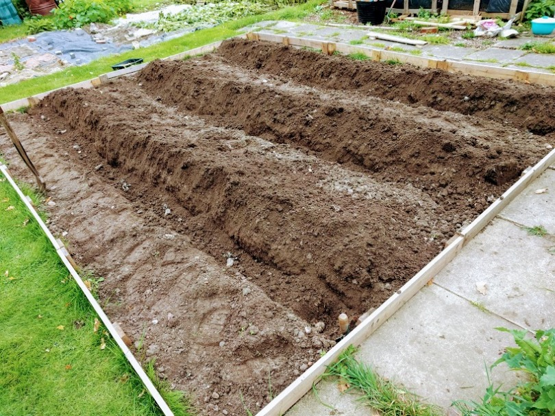 Planting potatoes for Christmas: International Kidney (Jersey Royals)